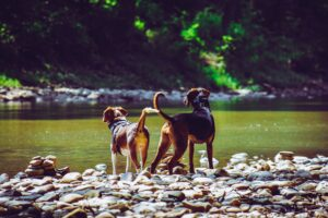 dogs near river